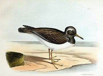 Auckland Islands shore plover - Image: Thinornis rossii