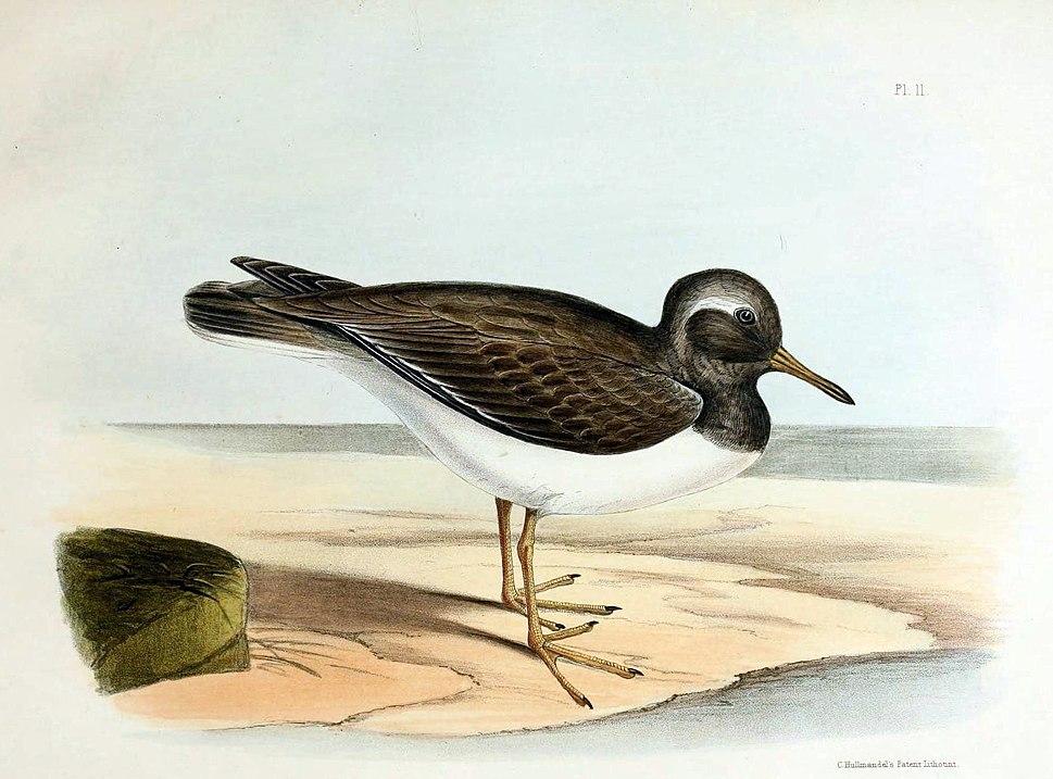 Extinct Auckland Islands shore plover