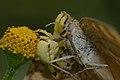 Thomisidae feeding Junonia almana on Acmella ciliata-Kadavoor-2015-08-20-001.jpg