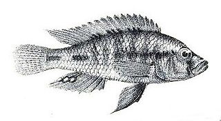 <i>Thoracochromis</i> genus of fishes