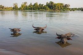 Three buffaloes heads above water in Si Phan Don.jpg