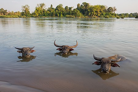 Three buffaloes heads above water in Si Phan Don