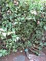 Thunbergia grandiflora - Jardin d'Éden.JPG