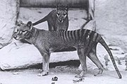 Captive Tasmanian Tigers in a zoo.