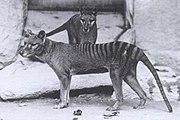 Captive Tasmanian Tigers in a zoo.