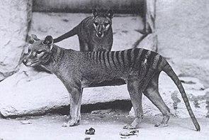 Beutelwölfe im Zoo in Washington, D.C. (1902)