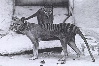 Fauna of Australia - The Tasmanian tiger has been officially recognized as extinct since 1936.