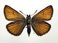 Thymelicus lineola.jpg