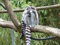 Tierpark-Pyrmont-Kattas.png