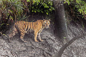 Tiger Sundarbans Tiger Reserve 22.07.2015