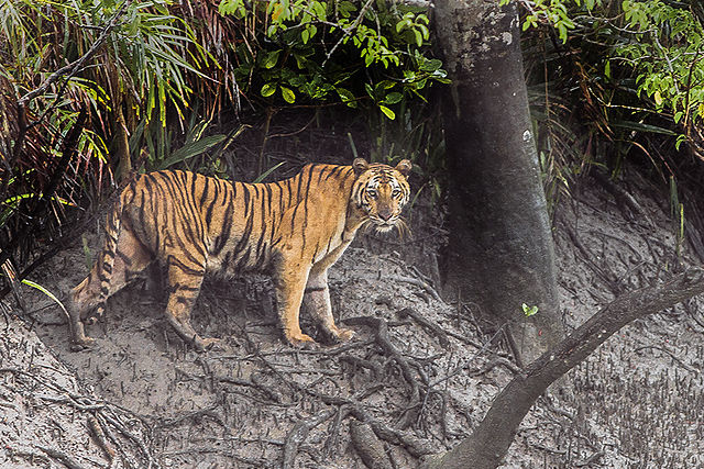 A Bengal tiger, the national animal, in the Sunderbans