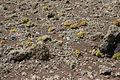Tinajo - Montaña Colorada - Aeonium lancerottense 05 ies.jpg