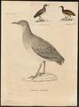 Tinamus adspersus - 1700-1880 - Print - Iconographia Zoologica - Special Collections University of Amsterdam - UBA01 IZ18900233.tif