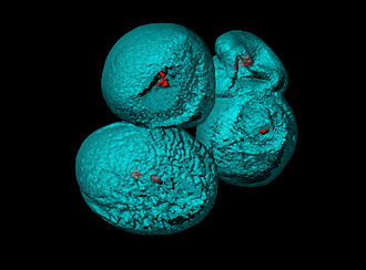 Scientific visualization - Surface rendering of Arabidopsis thaliana pollen grains with confocal microscope.