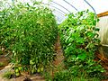 Tomatoes in Greenhouse (28269861921).jpg