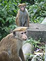 Toque macaque monkeys of Sri Lanka 01.jpg