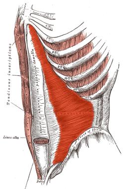transverse abdominal muscle - wikipedia, Muscles