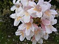 Tree Blossom, St Catherine, Pettaugh - geograph.org.uk - 1346690.jpg