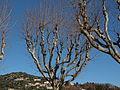 Trees in Aspremont.jpg