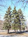 Trees in Memorial park 04.JPG