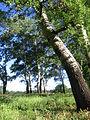 Trees near Mertvy Doneyts - panoramio.jpg