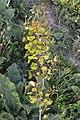 Trembling Aspen (Populus tremuloides) - Guelph, Ontario 2020-06-01.jpg