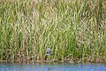 Tricolored heron (29960452756).jpg