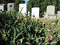 Trifolium fragiferum (subsp. fragiferum) sl1.jpg