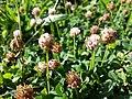 Trifolium fragiferum (subsp. fragiferum) sl39.jpg