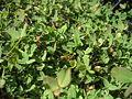 Trifolium fragiferum habit.jpg