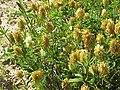 Trifolium pannonicum0.jpg