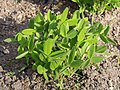Trifolium pannonicum Koniczyna pannońska 2016-05-02 01.jpg