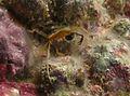 Trigonoplax unguiformis.jpg