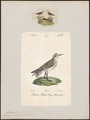 Tringa minuta - 1700-1880 - Print - Iconographia Zoologica - Special Collections University of Amsterdam - UBA01 IZ17400249.tif