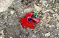 Trodden Flower.jpg