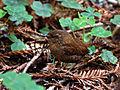 Troglodytes pacificus, Muir Woods 1.jpg