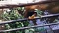 Tucano - Parque das Aves.jpg
