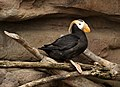 Tufted Puffin at Living Coasts.jpg