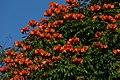 Tulipán africano (Spathodea campanulata) (14439037094).jpg