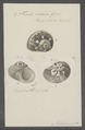 Turbo cidaris - - Print - Iconographia Zoologica - Special Collections University of Amsterdam - UBAINV0274 082 23 0018.tif