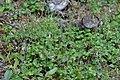 Twinflower (Linnaea borealis) - King's Cove, Newfoundland 2019-08-13.jpg