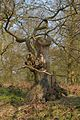 Twisted Tree - geograph.org.uk - 389860.jpg