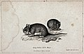 Two long-tailed field mice. Etching by W. S. Howitt. Wellcome V0020710.jpg