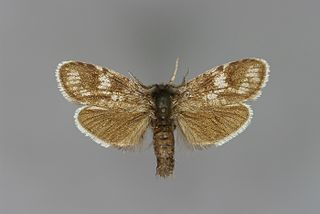 <i>Typhonia</i> Genus of moths