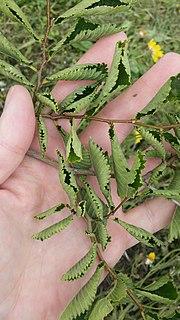 <i>Ulmus minor</i> Webbiana Elm cultivar