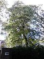 Ulmus minor (light green leaves). North west corner of Holyrood Palace Gardens, Edinburgh (3).jpg