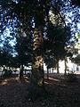 Una alzina als jardins de Can Sentmenat P1510549.jpg