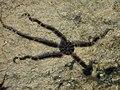 Una specie di stella marina - panoramio.jpg