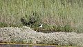 Une échasse blanche (13).JPG