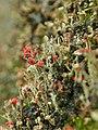 Unidentified Cladonia (rotfrüchtige Becherflechte) (2).JPG